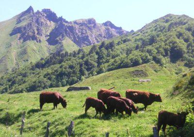 Le Puy de Sancy avec de vaches Salers